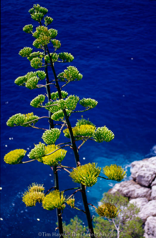Un unusual tree grows in the dry climate of Croatia's Dalmatian coast.