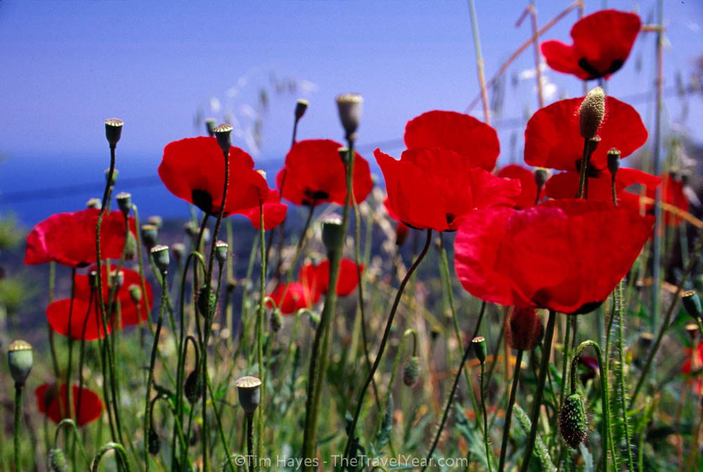 Poppies grow on a hillside near the village of Manolates, Samos.