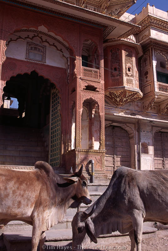 Two cows stand in front of richly ornamented Rajasthani buildings.