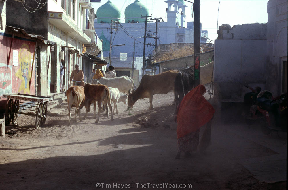 A woman sweeps a dirt road  in Pushkar while the always-present cows walk by.