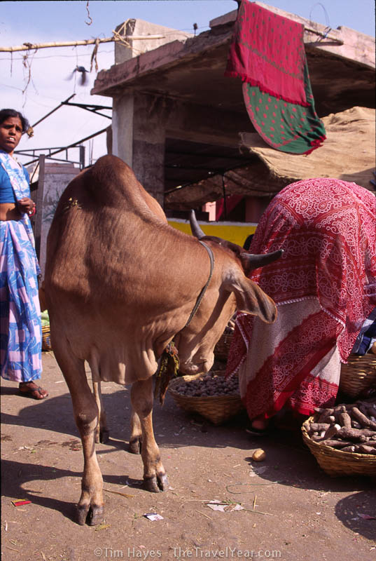 A cow looks like it might ram an unsuspecting woman who is bent over. Taken in Udaipur's vegetable market.