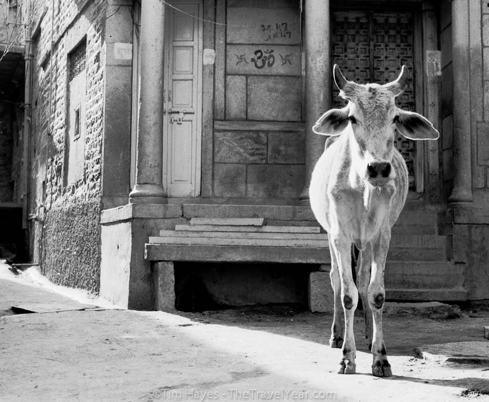 A cow stands in the middle of the road in Jaisalmer, India.