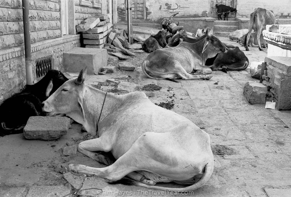 A herd of cows relax in the streets.