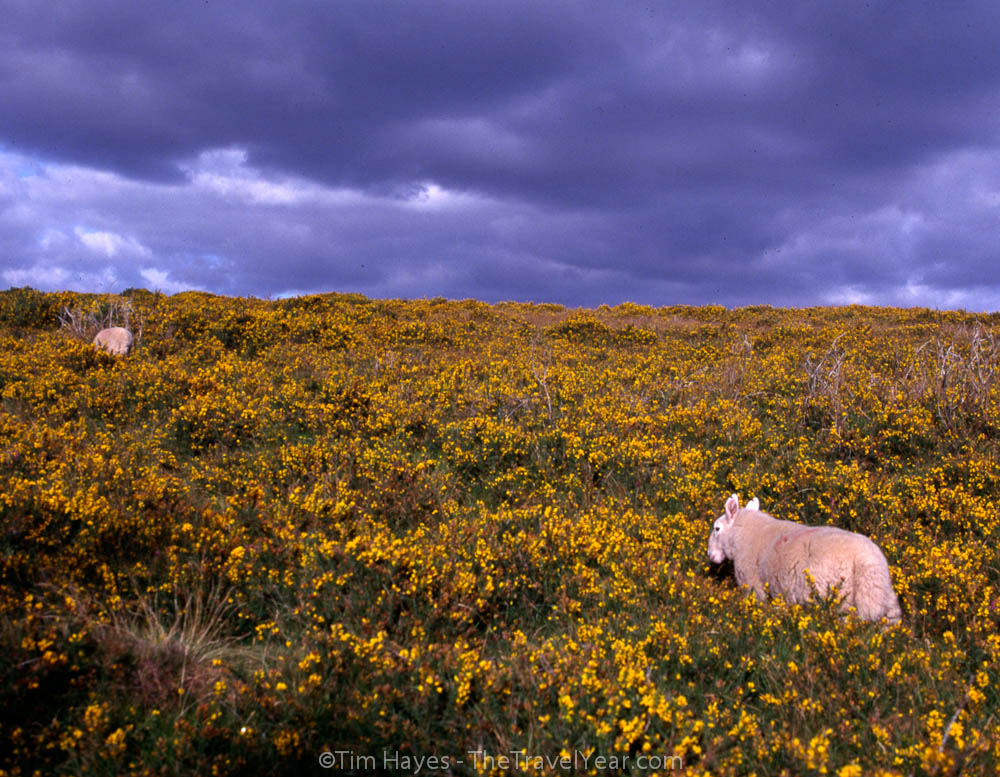 Two sheep walk up a green Irish hill covered in yellow wildflowers.