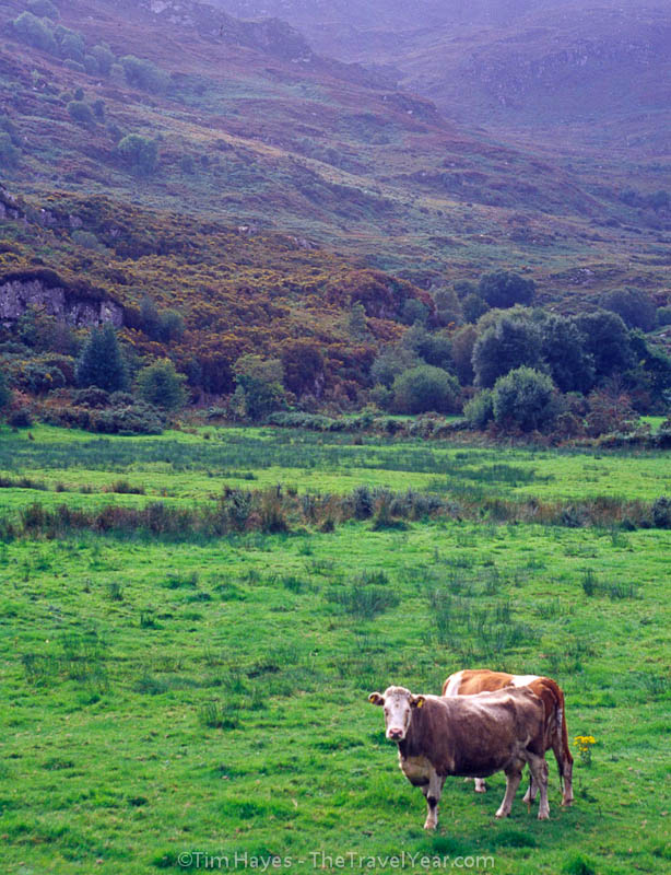 Cows stand watch in a field near Killarney in southwest Ireland