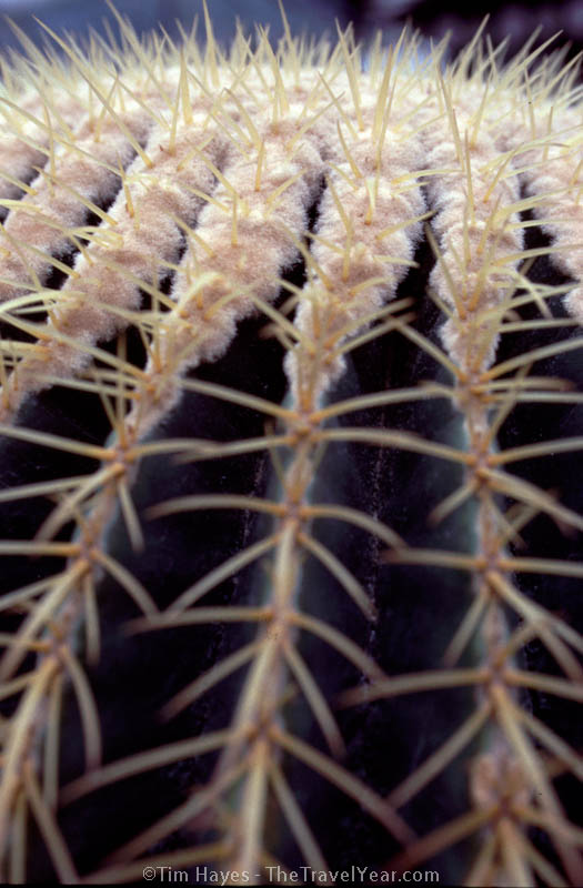 A cactus grows in a nursery in the Cameron Highlands of Malaysia.
